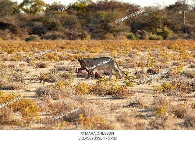Lioness feeding on carcass in arid plain, Namibia, Africa
