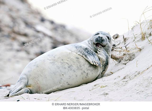 Young grey seal (Halichoerus grypus), casual, Heligoland, Schleswig-Holstein, Germany
