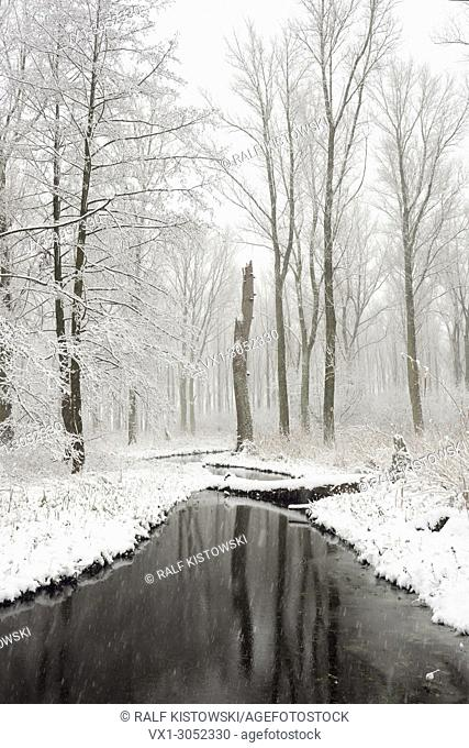Snow covered swamp forest in the Lower Rhine Region, old Rhine sling, Winter in Meerbusch, Ilvericher Altrheinschlinge, Germany