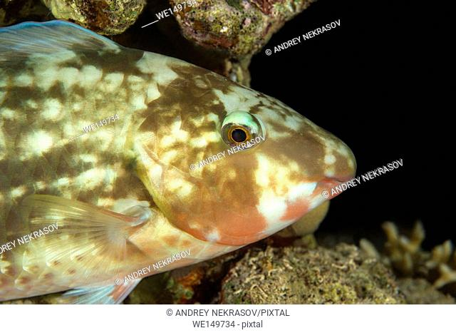Portrait of Longnose parrotfish or Candelamoa parrotfish (Hipposcarus harid) is sleeping on a coral reef, night diving, Red sea, Sharm El Sheikh