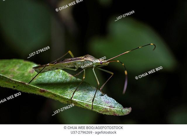 Stink bug. Image taken at Kampung Skudup, Sarawak, Malaysia