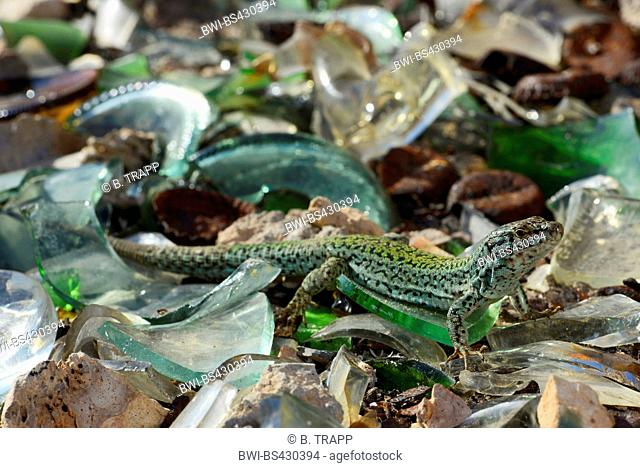 Formentera wall lizard (Podarcis pityusensis formenterae, Podarcis formenterae), sunbaths on a pile of shards, Spain, Balearen, Formentera