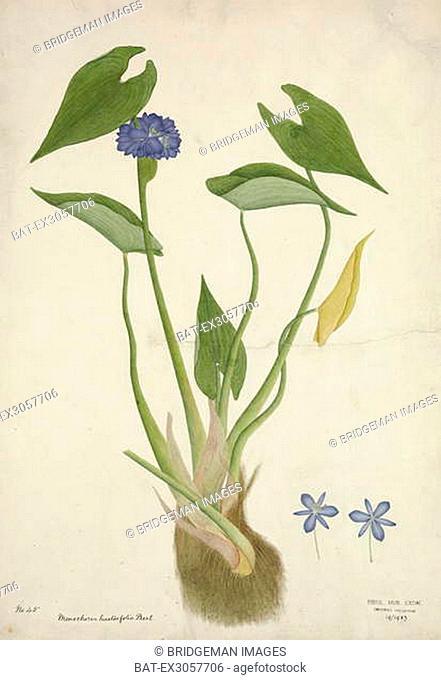 Monochoria Hastaefolia Presl, 1800-10 (w/c on paper), Indian School, (19th century) / Royal Albert Memorial Museum, Exeter, Devon, UK / Bridgeman Images