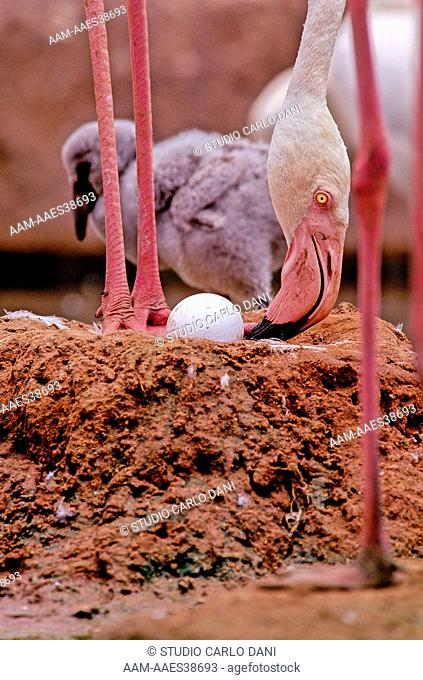 Greater Flamingo And Egg In Nest (Phoenicopterus Ruber) Namibia, Africa