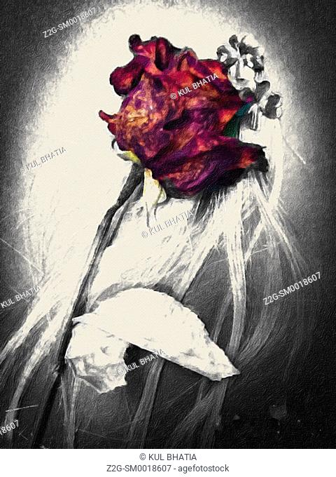 A withered red rose on a vignetted grey background symbolic of lost love