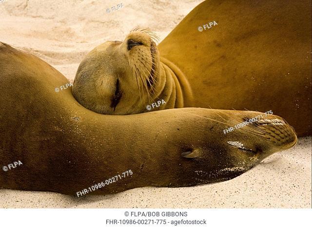 Galapagos Sealion Zalophus californianus wollebaeki two adults, close-up of heads, sleeping on beach, Galapagos