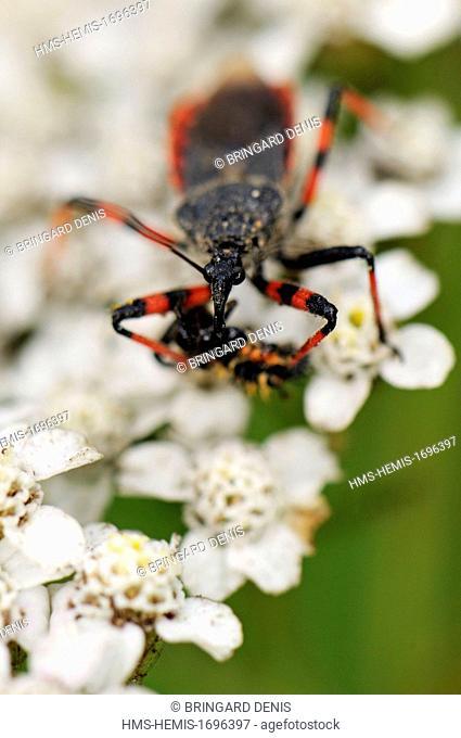 France, Territoire de Belfort, Belfort, garden, Bug (Rhynocoris annulatus) Chinese Ladybird larva devouring (Harmonia axyridis)