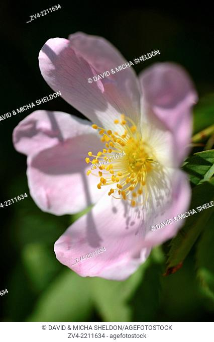 Close-up of a dog rose (Rosa canina) blossom in spring