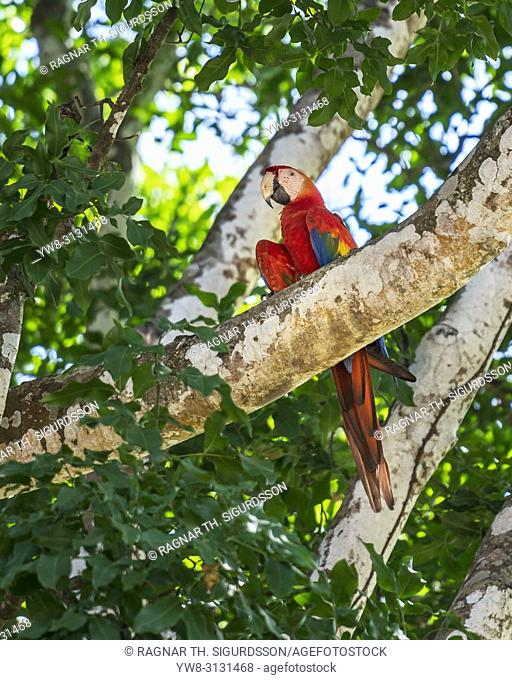 Scarlet Macaw on a tree branch, Costa Rica