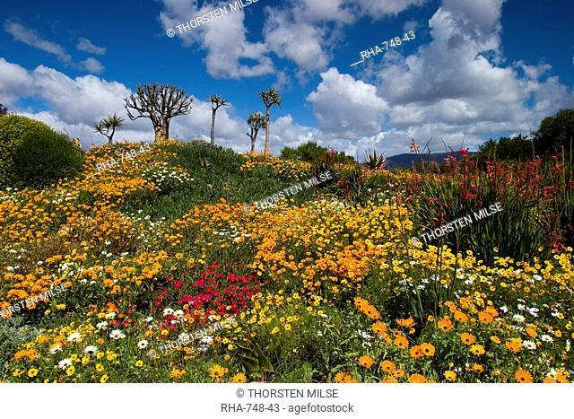Daisy, Asteraceae, West Coast N.P., Langebaan, South Africa