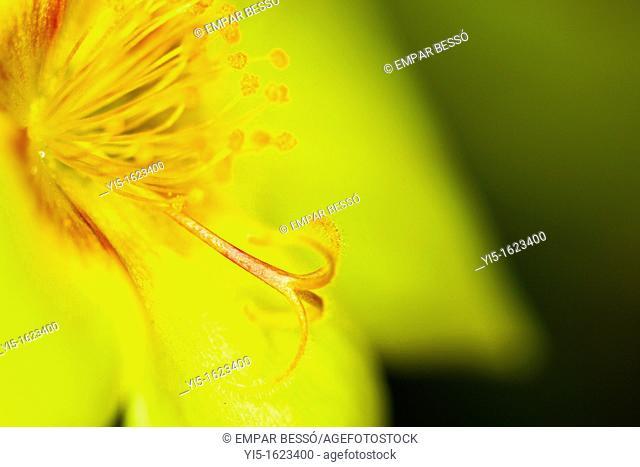 Portulaca oleracea, common Purslane, also known as Verdolaga, Pigweed, Little Hogweed, or Pusley. Valencia. Spain