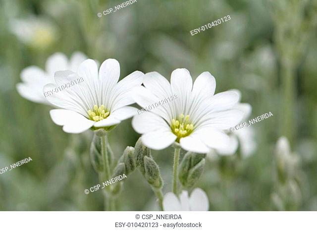 White rock flower