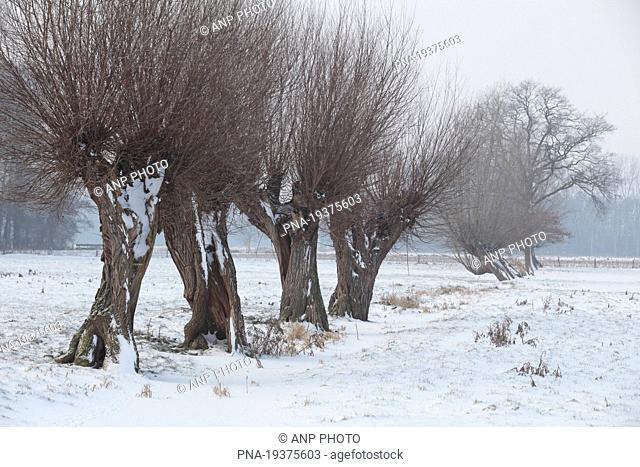 Willow, Pollard-willow Salix alba - Lower Rhine, Niederrhein, North Rhine-Westphalia, Nordrhein-Westfalen, Germany, Europe