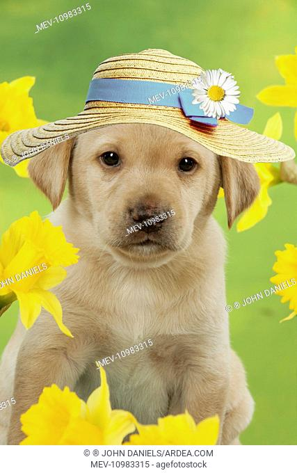 DOG - Yellow Labrador puppy wearing sun hat or easter bonnet surrounded by daffodils (6 weeks) Digital Manipulation
