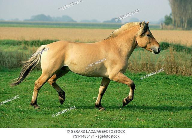 Norwegian Fjord Horse, Stallion Trotting in a Paddock