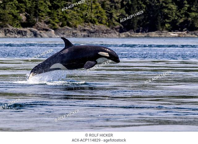 Killer whale breaching off Donegal Head of Malcolm Island, British Columbia, Canada