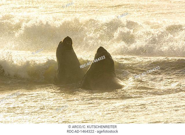 Sealion Island, Falkland Islands, United Kingdom, Southern elephant seal, males, Mirounga leonina
