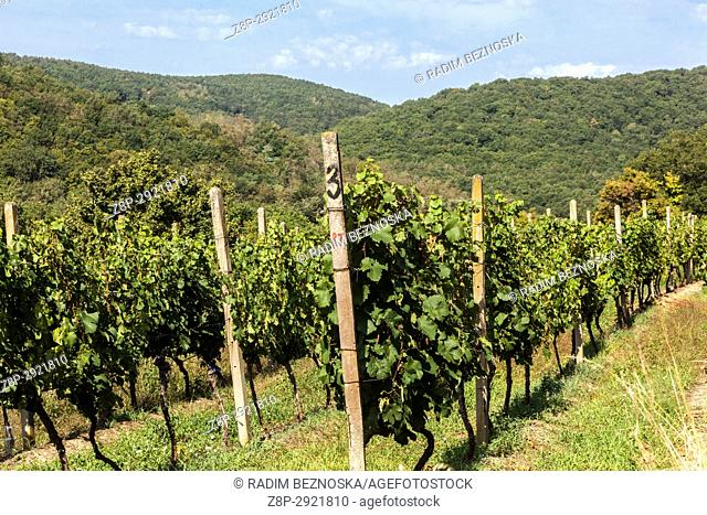 Sobes vineyard is the unique and oldest vineyard in the Czech Republic, located in the Podyjí National Park, Thayatal, near Znojmo, Czech Republic