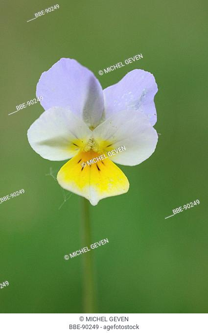 Detailed view of the flower of Field Pansy