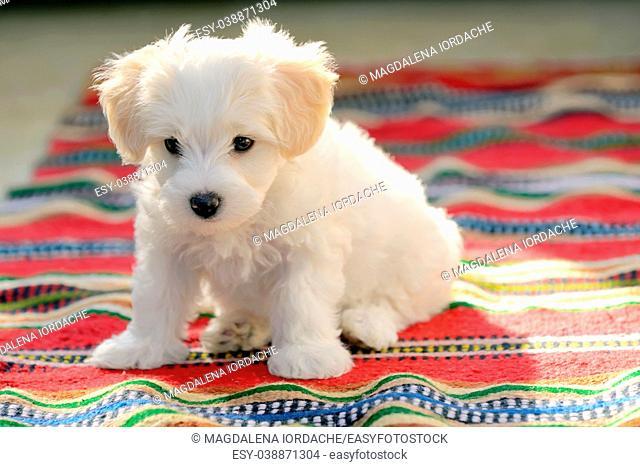 White puppy maltese dog sitting on red carpet