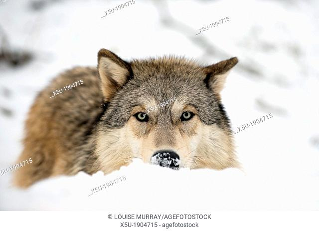 North American Timber wolf, Canis Lupus stalking and hunting in snow