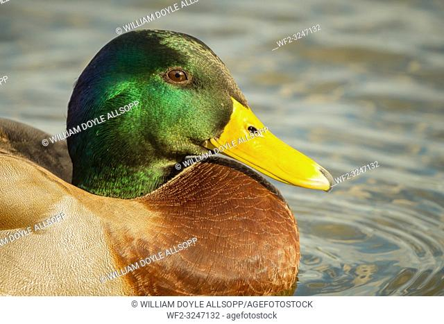 Mallard drake showing its glorious coloured head