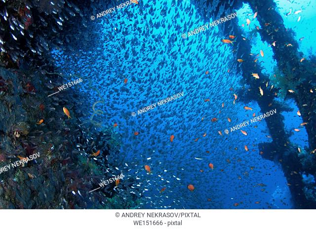 large school of fish Pigmy Sweepers (Parapriacanthus ransonneti) on shipwreck background, Red Sea, Egypt