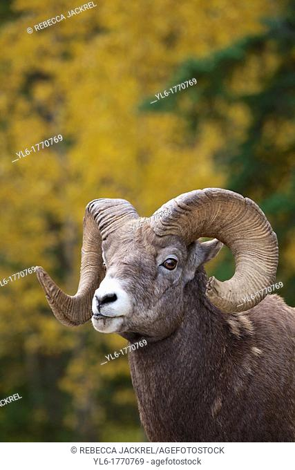 A rocky mountain bighorn sheep Ovis canadensis canadensis poses in front of an Aspen tree in Jasper National Park, Alberta, Canada