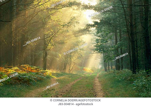 Sunrays shining through the forest. Germany