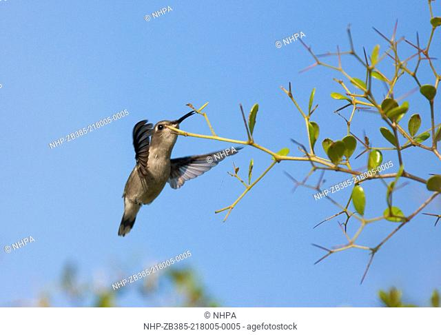 BEE HUMMINGBIRD (Mellisuga helenae) male feeding in flight, Cuba. Endemic species. Bee hummingbirds are the smallest birds in the world