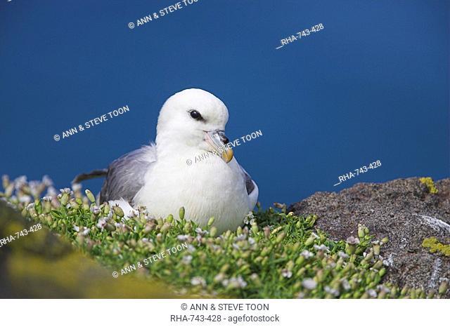Fulmar, Fulmarus glacialis, Isle of May, Fife, Scotland, United Kingdom, Europe