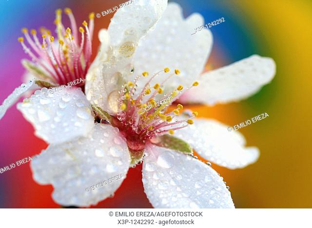 Almond flower with droplets