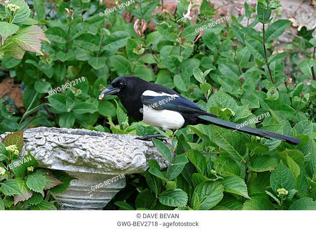 MAGPIE PICA PICA AT BIRD BATH