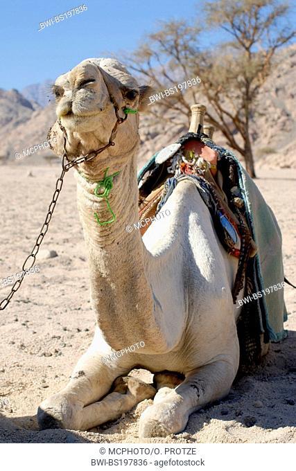 dromedary, one-humped camel (Camelus dromedarius), Camel Resting in a Mountain Landscape in the Sinai Desert, Egypt