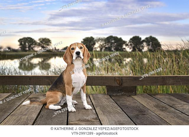 Outdoor portrait of a beagle puppy