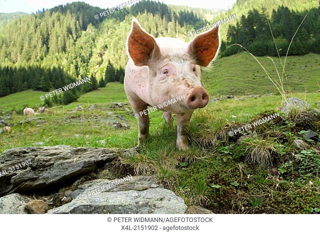 happy pig on pasture, organic agriculture