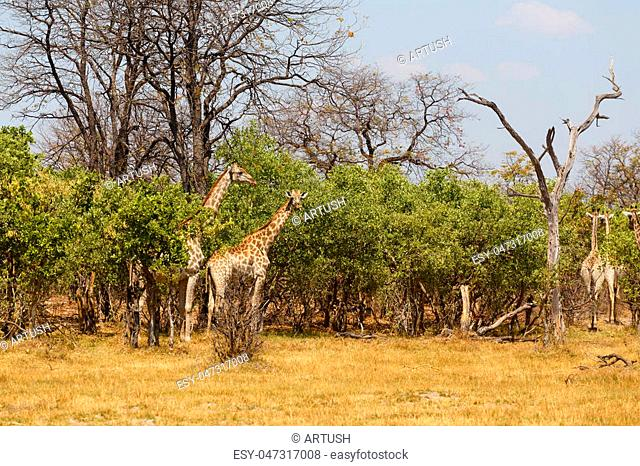 herd of giraffe grazing on tree, Moremi Game reserve, Okavango Delta, Botswana, Africa safari wildlife and wilderness