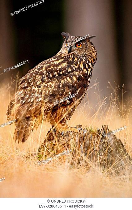 Big Eurasian Eagle Owl, bird sitting on the stump in dark forest
