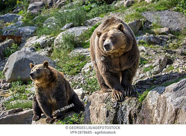 grizzly male and female Zoo Sauvage Saint Felicien