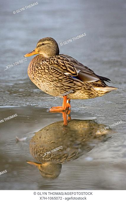 Female mallard duck standing on ice in winter