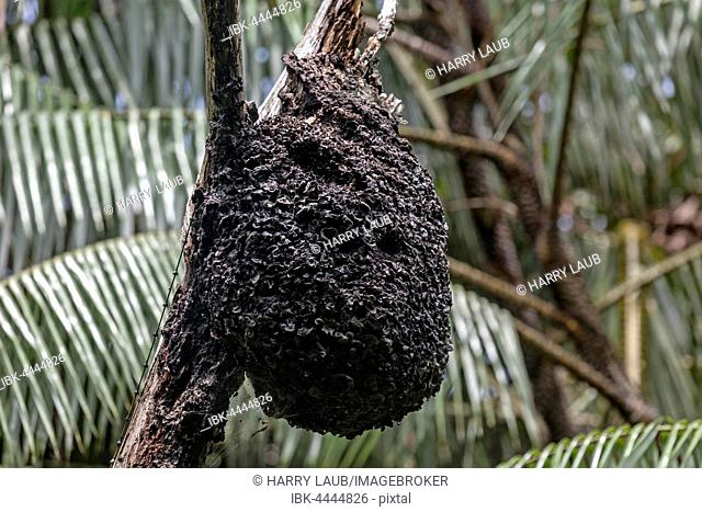 Wasp nest hanging from branch, Sinharaja Forest Reserve, Sri Lanka