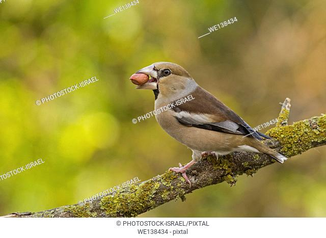 Hawfinch (Coccothraustes coccothraustes) perched on a branch. This finch has short tail and has a stong beak for cracking seeds such as cherry stones