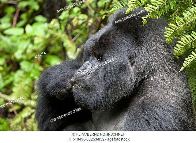 Mountain Gorilla Gorilla beringei beringei silverback adult male, close-up of head, feeding, sitting in vegetation, Volcanoes N P , Virunga Mountains, Rwanda
