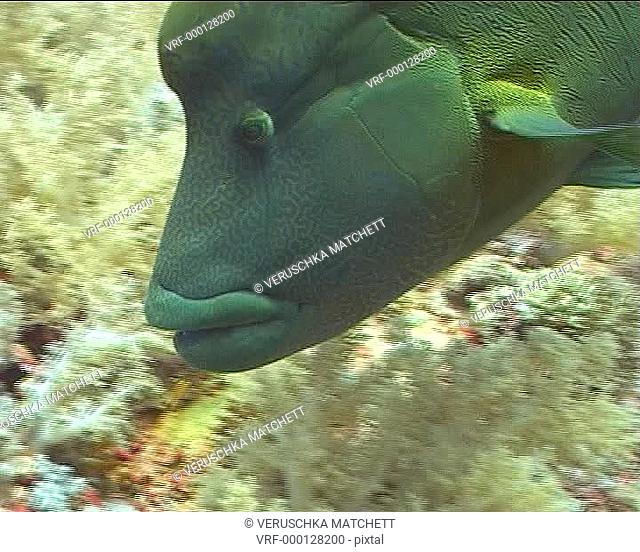 Napoleon wrasse CU as swims above reef. Red Sea, Egypt