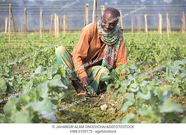 A farmer takes caring his eggplants plant on field at Jessore, Bangladesh