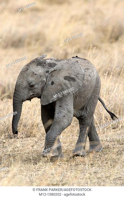 Baby Elephant walks across the plains of the Masai Mara