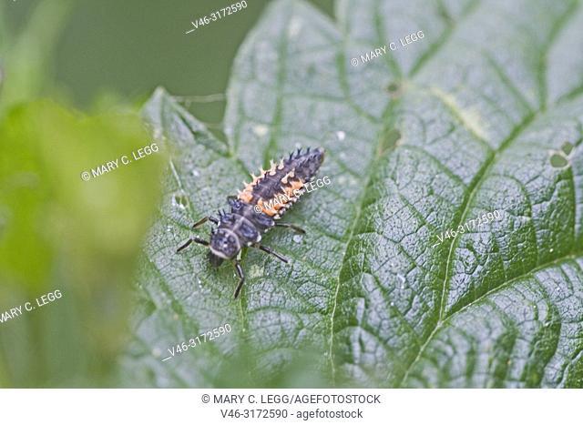 Harlequin Ladybird larvae, Harmonia axyridis. Orange and black larvae of harmonia axyridis, international invasive pest. harlequin Ladybirds were introduced...