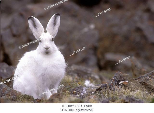 Arctic Hare, Ellesmere Island NP, Nunavut, CAN