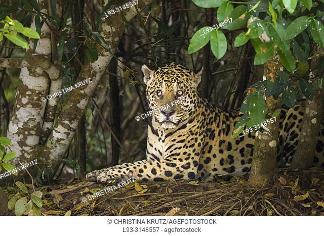 Jaguar (Panthera onca), blind in one eye, in the Pantanal region, Mato Grosso, Brazil