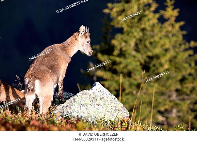 The Alps, the Bernese Oberland, autumn, young animals, Niederhorn, Switzerland, Capricorn, mammals, animals, animal children, wilderness, wild animals